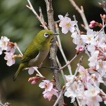 啓翁桜にメジロ飛来の記事に添付されている画像