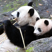 今日は上野動物園開園記念日♪の記事に添付されている画像