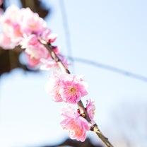 桜撮影会まだ空きがあります!!|家族写真の出張撮影のF.O.T.Sの記事に添付されている画像