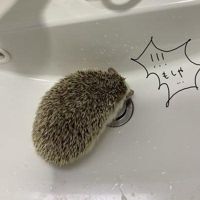 はりねずみ コテツさん、洗われる!の記事に添付されている画像