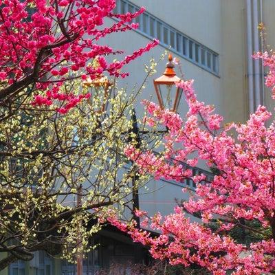 早咲き桜と 紅白梅のコラボ。。。の記事に添付されている画像