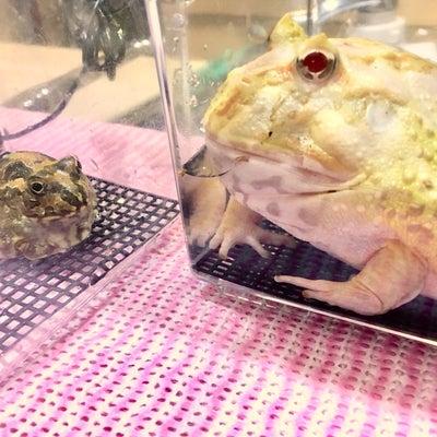 ツノガエルと温浴さんの記事に添付されている画像