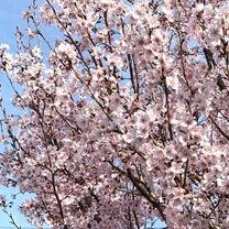 満開の桜とユキヤナギ、スノーフレークの花と  我が家のクリスマスローズのまとめの記事に添付されている画像