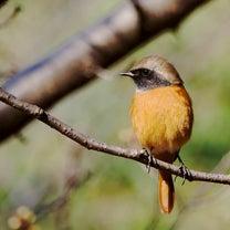 花盛りの春に花絡みの鳥さんを求めて、プチ遠征その2の記事に添付されている画像