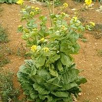 野菜の花の記事に添付されている画像