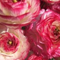 ラナンキュラスの花 × ハリネズミの記事に添付されている画像