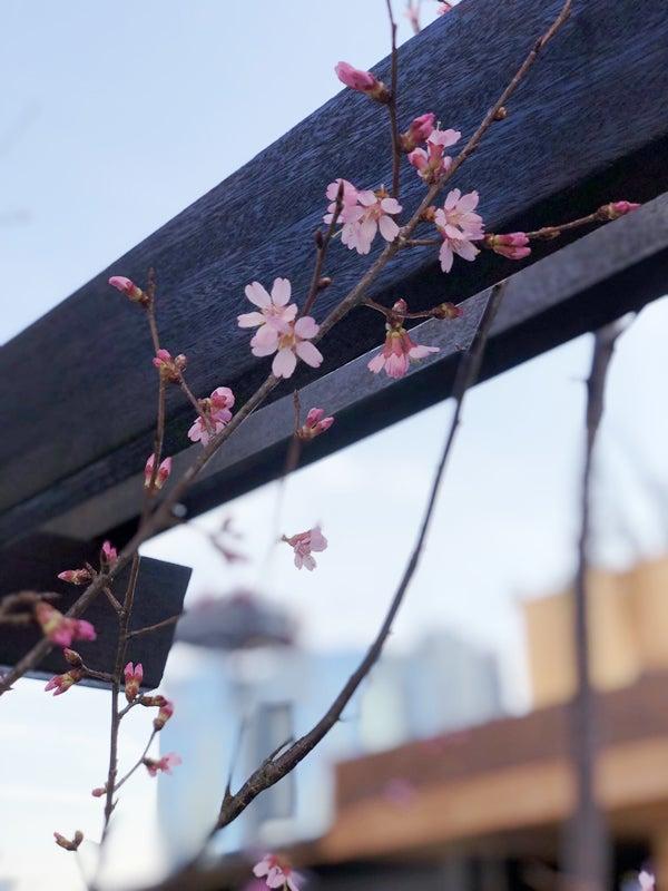 桜 開花 iPhone撮影