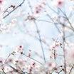 【この花なぁに?☆ソメイヨシノの前にはこのお花がおススメ!】