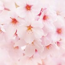 さくら開花宣言!!の記事に添付されている画像