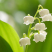 Lily Of The Valley 谷間のゆり