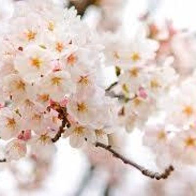 ねこのまんぷく家族の(桜開花)の記事に添付されている画像