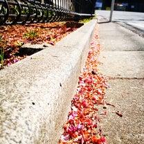 早咲きの桜 満開の時期の記事に添付されている画像