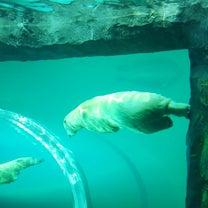 札幌円山動物園(シロクマ)の記事に添付されている画像