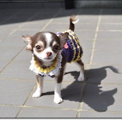 ポムに手編みのワンピ似合うかな~(#^.^#)ワクチン終了!!の記事に添付されている画像