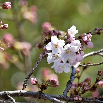 桜の季節 2019 東京の桜 開花宣言の記事に添付されている画像