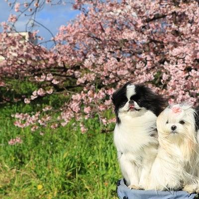 桜が満開~♪河川敷の記事に添付されている画像