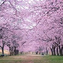 埼玉坂戸 北浅羽桜堤公園の安行寒桜がすばらしいの記事に添付されている画像