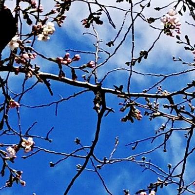 春分の日・桜待ちの心の記事に添付されている画像