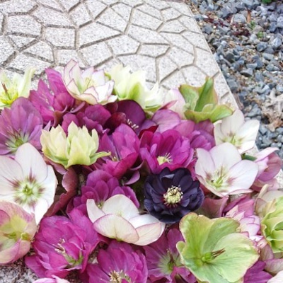 クリスマスローズは花柄も綺麗です。の記事に添付されている画像