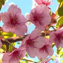 春分の日 桜色々♪の記事に添付されている画像