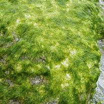 与論島 自然の恵❕❕ ~アオサ取りに行きました~の記事に添付されている画像