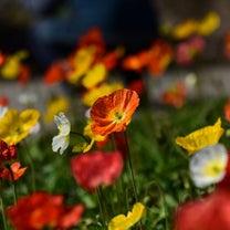 春の彩り ポピーの記事に添付されている画像