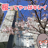 離婚した頃の桜の画像