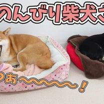 春、のんびり柴犬さん 【ひみつきちなう!②】2019年3月22日の記事に添付されている画像