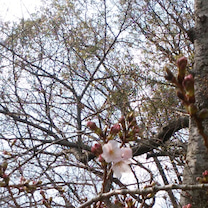 おでこ日記 桜咲き始めました!の記事に添付されている画像