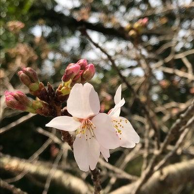 宮地嶽神社さんの桜、咲いてましたよっっの記事に添付されている画像