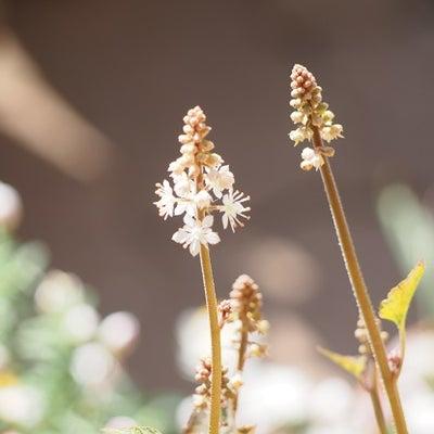 ティアレラ&フロックスポップスターズ開花♪の記事に添付されている画像