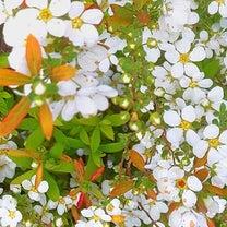 ゆきやなぎ、春。の記事に添付されている画像