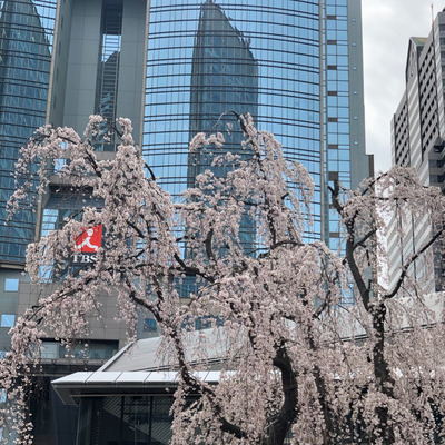 今年も桜の開花でワクワクウキウキの記事に添付されている画像