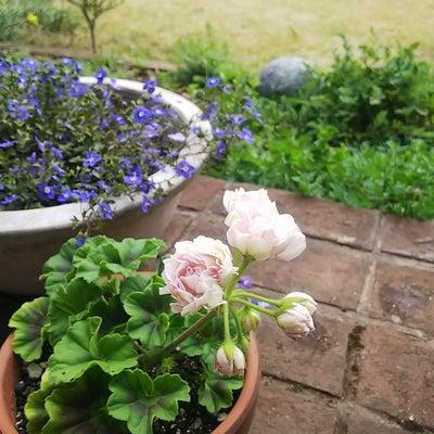 咲いた咲いた  ―バラ咲きゼラニウム―の記事に添付されている画像