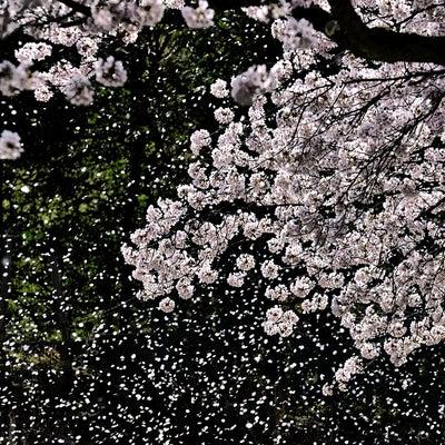 日本人と桜と、そしてイチローの記事に添付されている画像