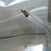 ★【ペット】欲しかった熱帯魚!★の記事に添付されている画像