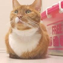 我が家の猫の病気の続報。高カルシウム血症が再び悪化。「ちゃい」に元気を下さいの記事に添付されている画像