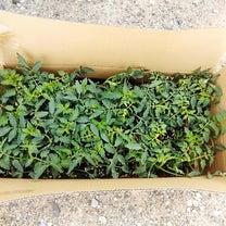 桃太郎のトマトの苗を植えたよ(*^^*)の記事に添付されている画像