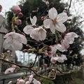 春の花と雨
