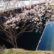 春の訪れを知らせる彼岸桜は凄し(≧▽≦)の記事に添付されている画像