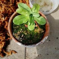 今年の春の食虫~!の記事に添付されている画像