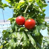 再建ハウス トマトの収穫の記事に添付されている画像