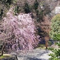 2019 本牧臨海公園 しだれ桜の記事に添付されている画像