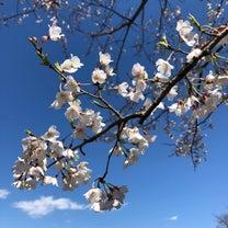 1y7m19d 桜の記事に添付されている画像
