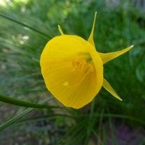 黄色のスイセン ゴールデンベルズ & オウバイの記事に添付されている画像