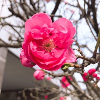 南福岡自動車学校裏の梅咲いてますの記事に添付されている画像