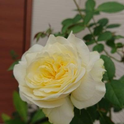 薔薇が好きの記事に添付されている画像