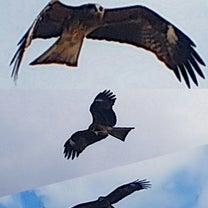 とんびは嫌い!自然界の出来事。の記事に添付されている画像