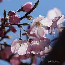 詩集 「四季」 第一章 「春の調べ」より 「こんにちは。桜の花さん」 by 夢 の記事に添付されている画像
