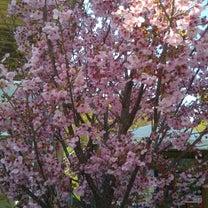 春(*´ー`*)の記事に添付されている画像